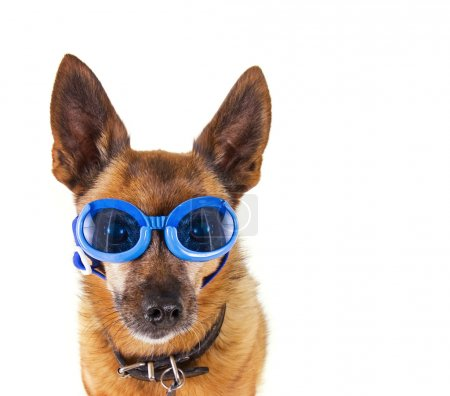 A small chihuahua mix with goggles on isolated on ...