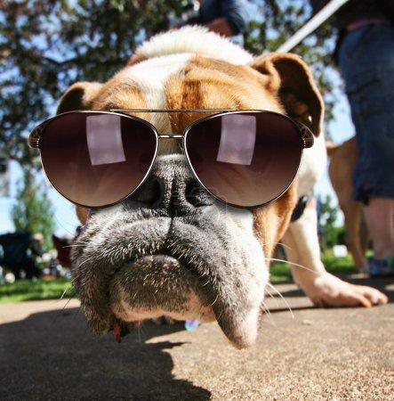 Bulldog with sunglasses on