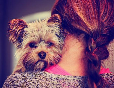 Yorkshire terrier peeking from woman