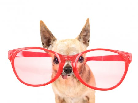 a cute chihuahua with giant pink and red sunglasses on isolated