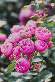 Růže řazení Pomponella