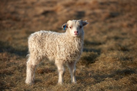 cute Icelandic lamb standing in a field