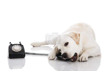 Labrador Dog with phone