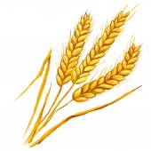 Ears of wheat vector illustration  hand drawn  painted