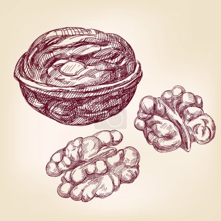 walnuts hand drawn vector llustration realistic sketch