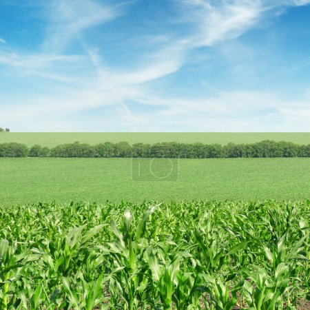 Photo for Corn field and beautiful sky - Royalty Free Image