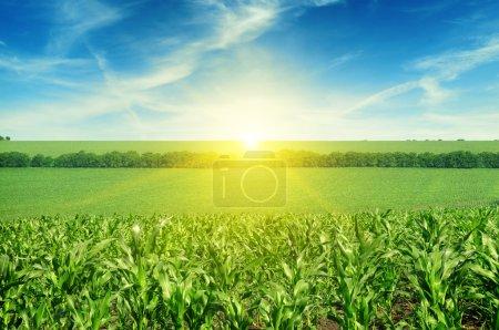 Beautiful sunset on corn field
