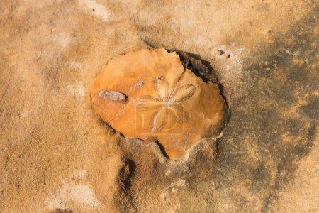 fossil in limestone