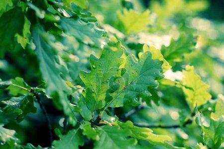 Oak green leaves