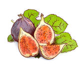 Figs Watercolor imitation with sketch
