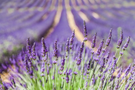 Photo for Provence Region, France. Lavander field at end of June - Royalty Free Image
