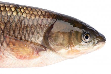 Fish head grass carp isolated on white background....