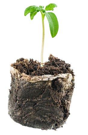 Photo pour Pousse verte de plus en plus du sol. isolé sur blanc - image libre de droit