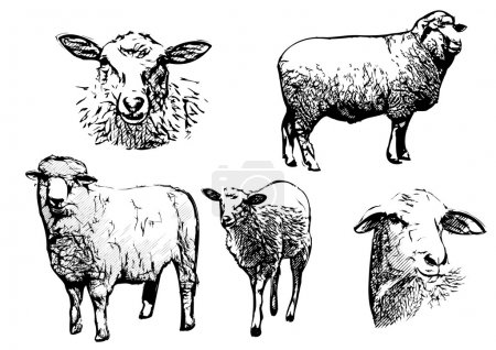 Illustration for Sheep vector illustration on white - Royalty Free Image