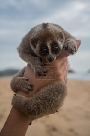 Photo for Slow loris in the hands of women isolated on the beach. - Royalty Free Image