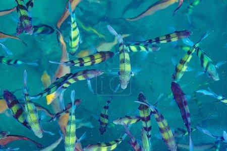 Photo pour Poissons dans la mer Phi Phi Island, Thaïlande, océan tropical - image libre de droit