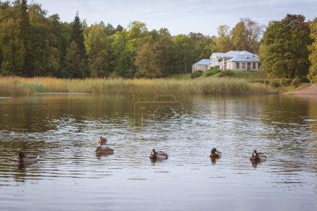 Ducks swim in a pond