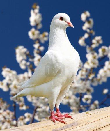 Photo pour Un pigeon blanc sur fond fleuri - pigeon impérial - ducula - image libre de droit