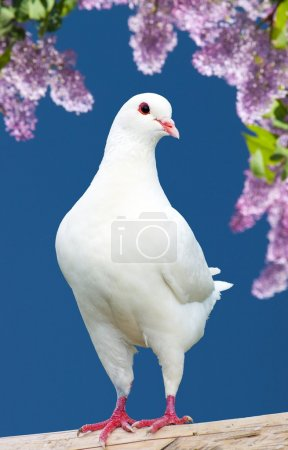 Beautiful view of one white pigeon on perch with f...