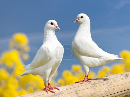 two white pigeons on perch with yellow flowering background