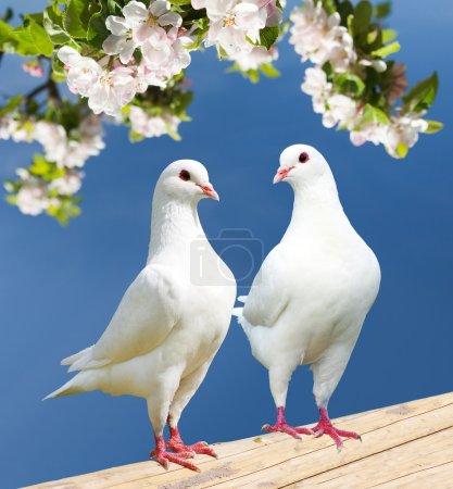 Photo pour Deux pigeons blancs sur fond fleuri - pigeon impérial - ducula - image libre de droit