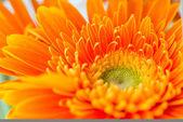 Pozadí květy zářivě oranžová Gerbera