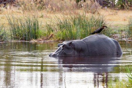Ardea goliath perched on hippo's back