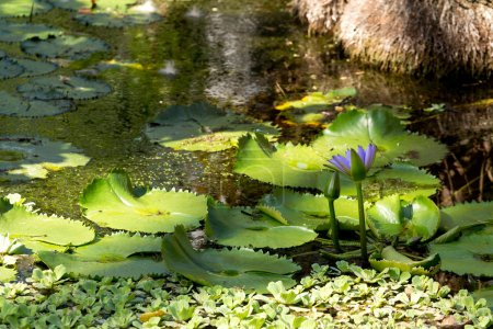 water lily in small pond