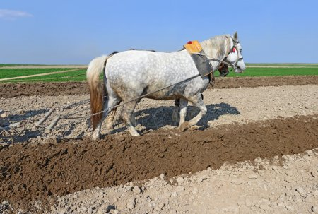 Photo pour Un cheval sur un champ de printemps pendant les travaux sur le terrain . - image libre de droit