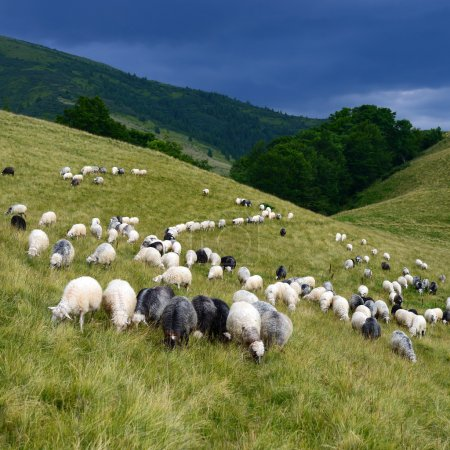 Sheep in mountains in a summer landscape.