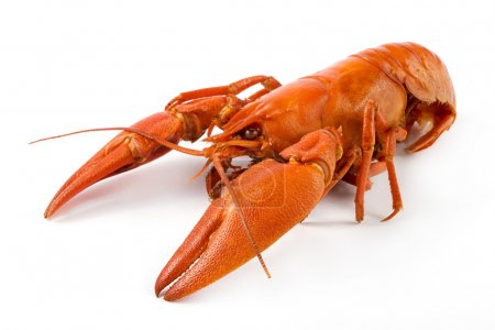 Photo for Boiled crawfish over white. - Royalty Free Image