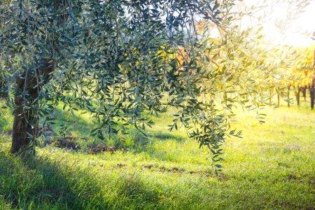 Beautiful sunrise landscape of Olive trees plantation