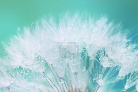 Photo pour Graine de pissenlit blanc tendre avec gouttes d'eau - fond doux et léger - image libre de droit