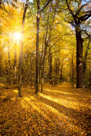 Photo for Gold Autumn with sunlight and sunbeams -  Beautiful Trees in the forest, fall season - Royalty Free Image