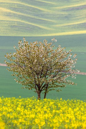 Blooming Tree over yellow and green fields - abstract spring