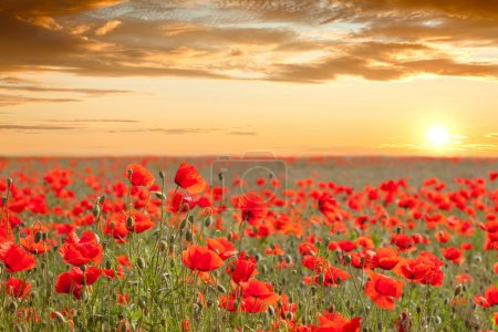 Photo for Beautiful poppy field landscape with golden sky, sun and clouds - sundown time - Royalty Free Image