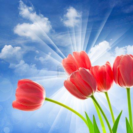 Photo pour Incroyables tulipes sur fond de ciel bleu fantastique avec des rayons de soleil et boche déconcentré - image libre de droit
