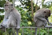 Monkeys at sacred monkey forest, Ubud, Bali, Indonesia