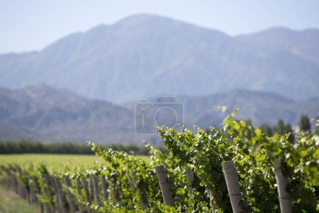 Detail of vineyards in Argentina