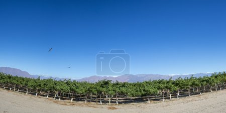 Vineyards, condors and blue sky in Argentina