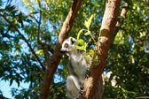 Long-tailed lemurs with huge Golden eyes
