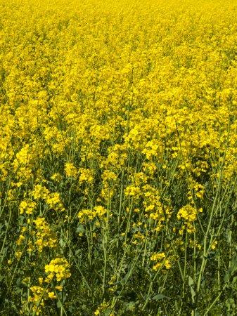 Photo pour Champ florissant de viol jaune comme arrière-plan - image libre de droit