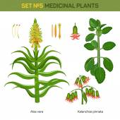 Aloe vera and kalanchoe pinnata medical plants Bryophyllum pinnatum or air or life plant cathedral bells with flowers and branch of miracle leaf healing stem of goethe plant Remedial flora