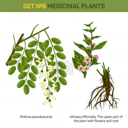 Illustration for Herbal robinia pseudoacacia or black locust branch of tree with leaves in blossom and althaea officinalis or marshmallow medical plant top part with flowers and bottom part with roots. EPS 10 - Royalty Free Image