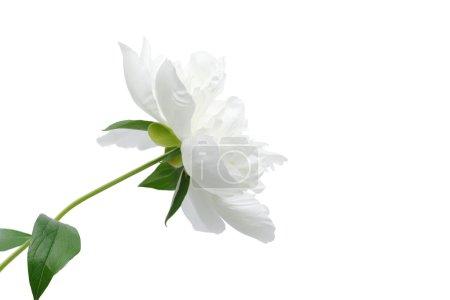 Photo pour Fleur de pivoine blanche isolée sur blanc avec des chemins de coupe - image libre de droit