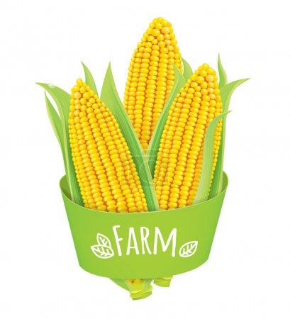 Ripe and fresh corn on the cob....