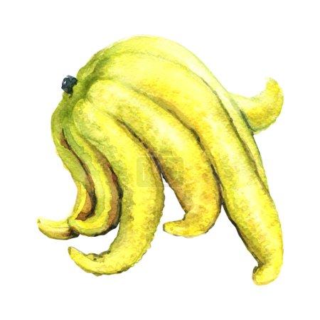 Buddhas hand or fingered citron fruit isolate