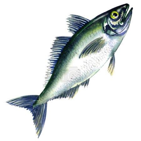 Fresh horse mackerel, or Japanese jack mackerel isolated on white