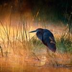 Постер, плакат: Goliath heron with sunrise over misty river