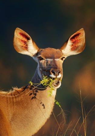 Kudu  eating green leaves